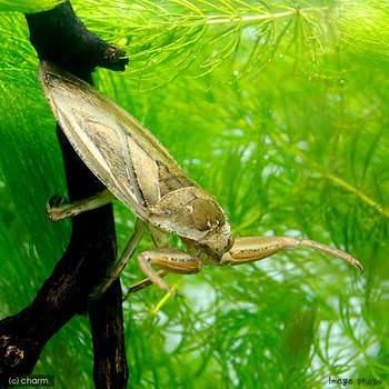 タガメ タガメの生態や捕まえるコツ
